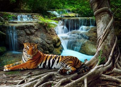 Tygrys #70563855
