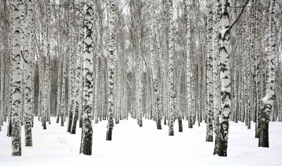 Winter birch forest #75979616