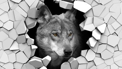 Wilk w ścianie