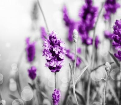 Lavender Field #43770414