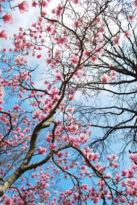 Kwitnąca magnolia #43814924