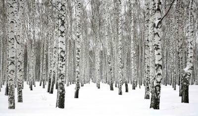 Winter birch forest #75979616