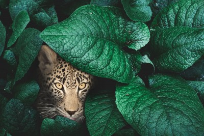 Leopard na polowaniu